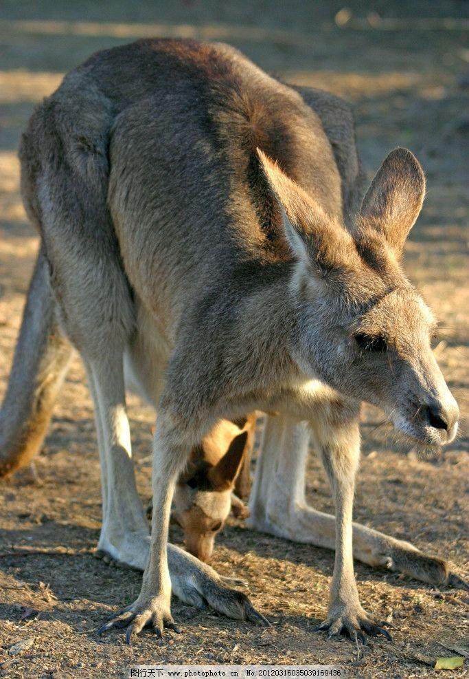 澳大利亚袋鼠 澳大利亚 袋鼠 野生 最贵 保护 动物 野生动物 生物世界