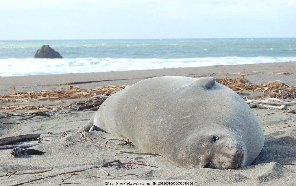 海狮 野生 珍惜 保护 动物 大海 海洋 海岸 野生动物 生物世界 摄影 3