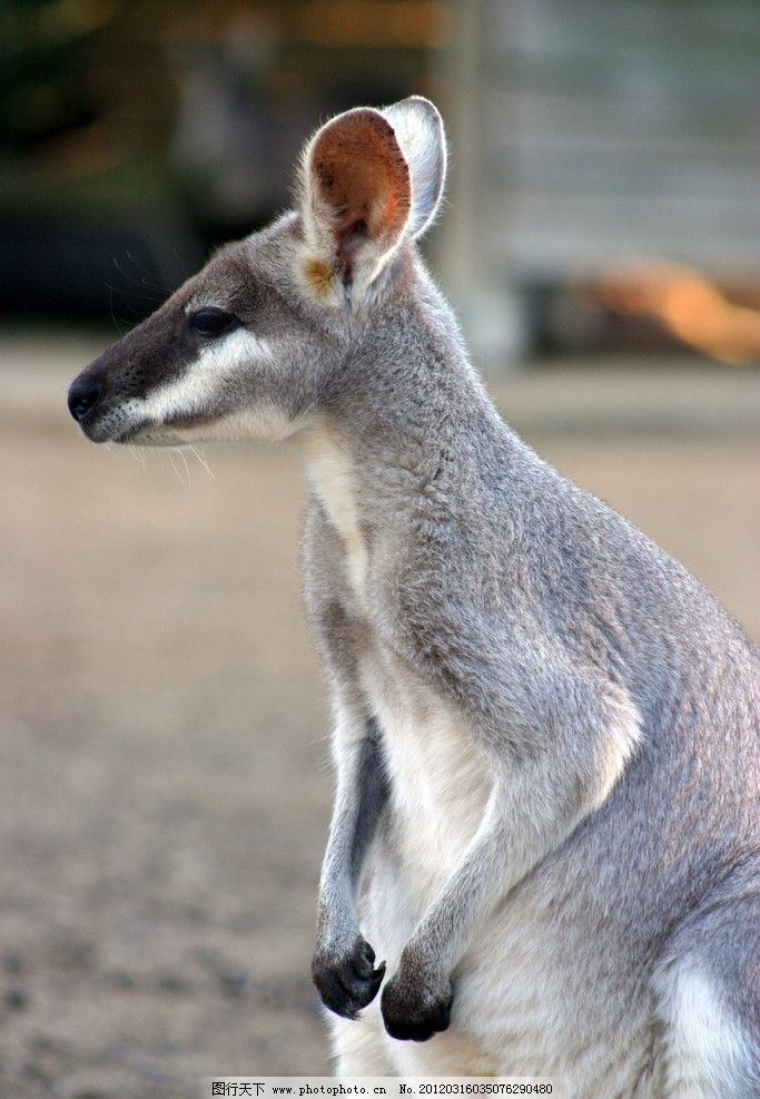 澳大利亚袋鼠 野生 最贵 保护 动物 摄影