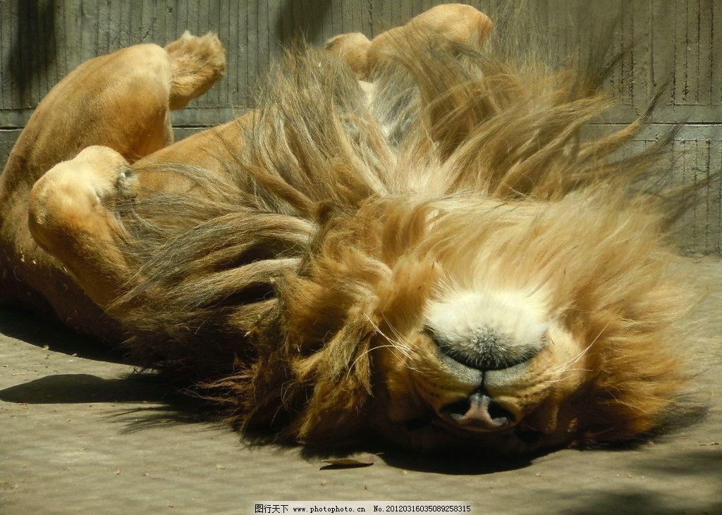 狮子 卖萌 可爱 打滚 翻地 动物园 野生动物 生物世界 摄影 300dpi