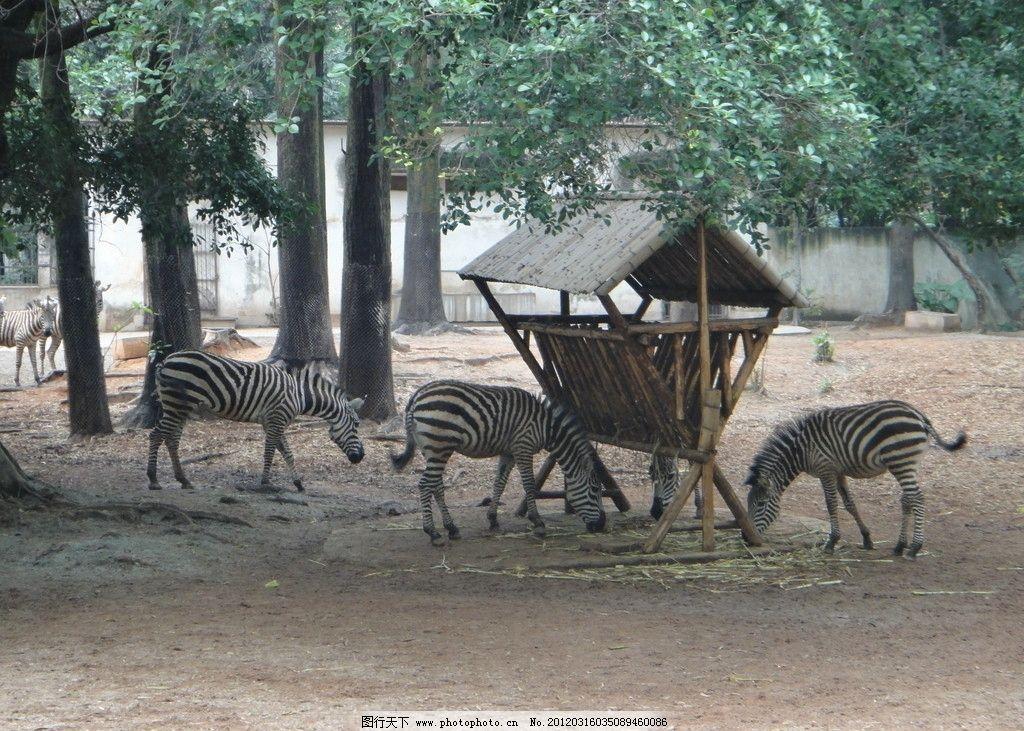斑马 动物园 斑马群 动物 野生动物 生物世界 摄影 72dpi jpg