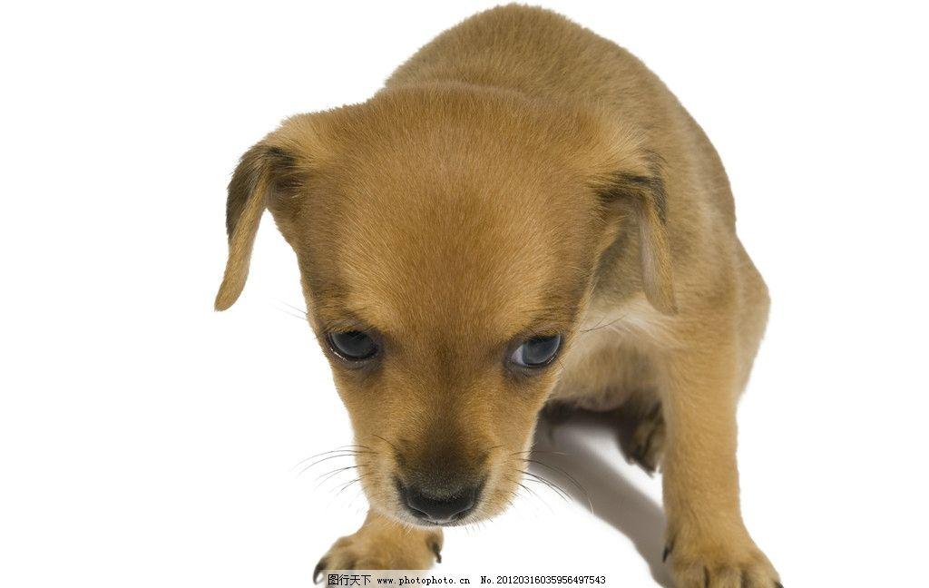 可爱小狗崽 宠物 狗狗 狗仔 幼崽 犬类 家禽家畜宠物 摄影