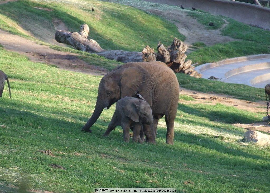 大象 小象 野生动物 动物园 生物 生物世界 哺乳动物 动物 摄影 72dpi