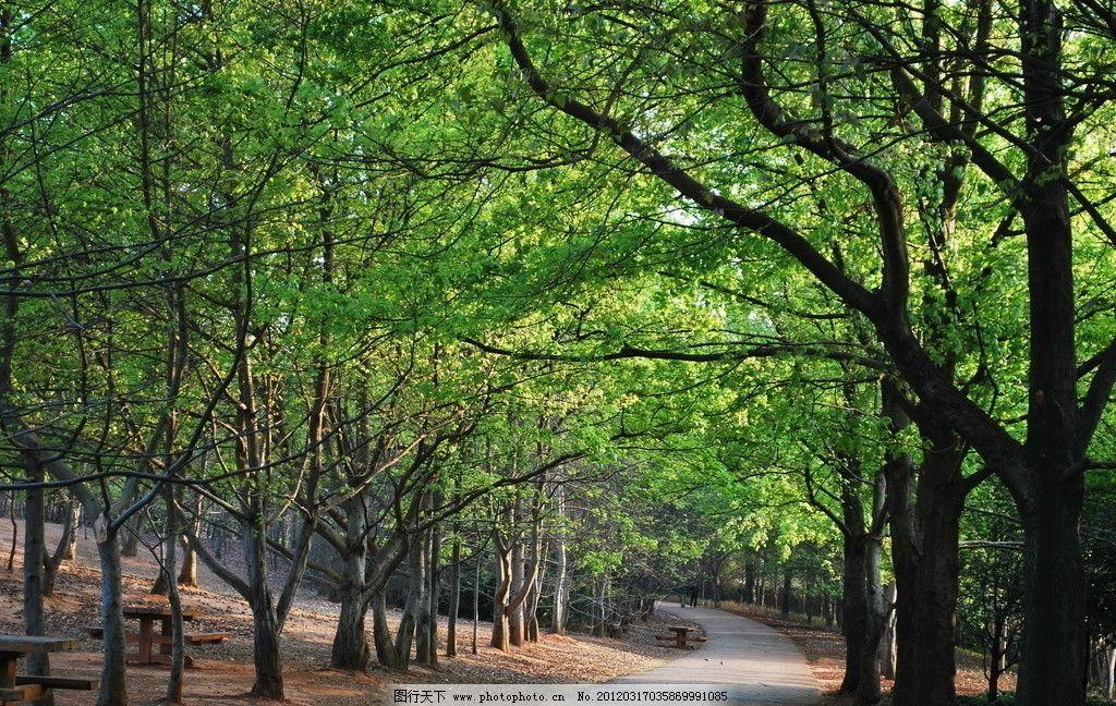枫香树图片