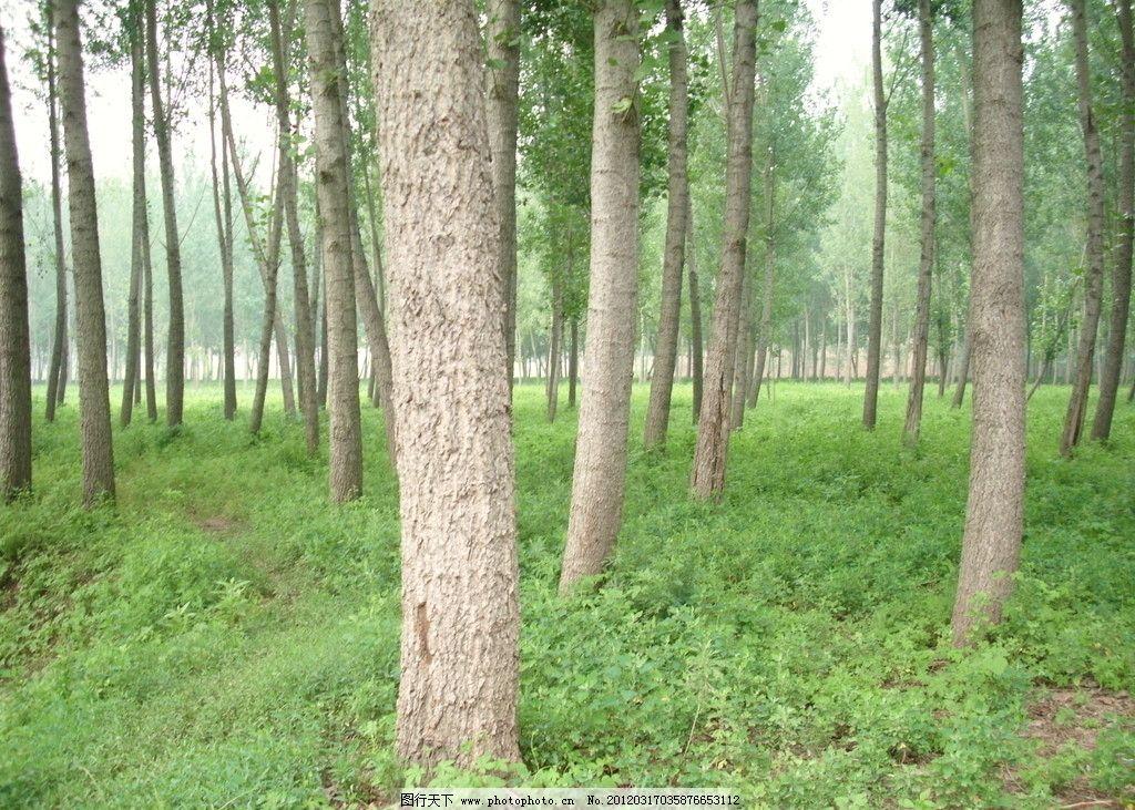 树林 杨树 小草 绿色 夏天 树木树叶 生物世界 摄影 96dpi jpg图片