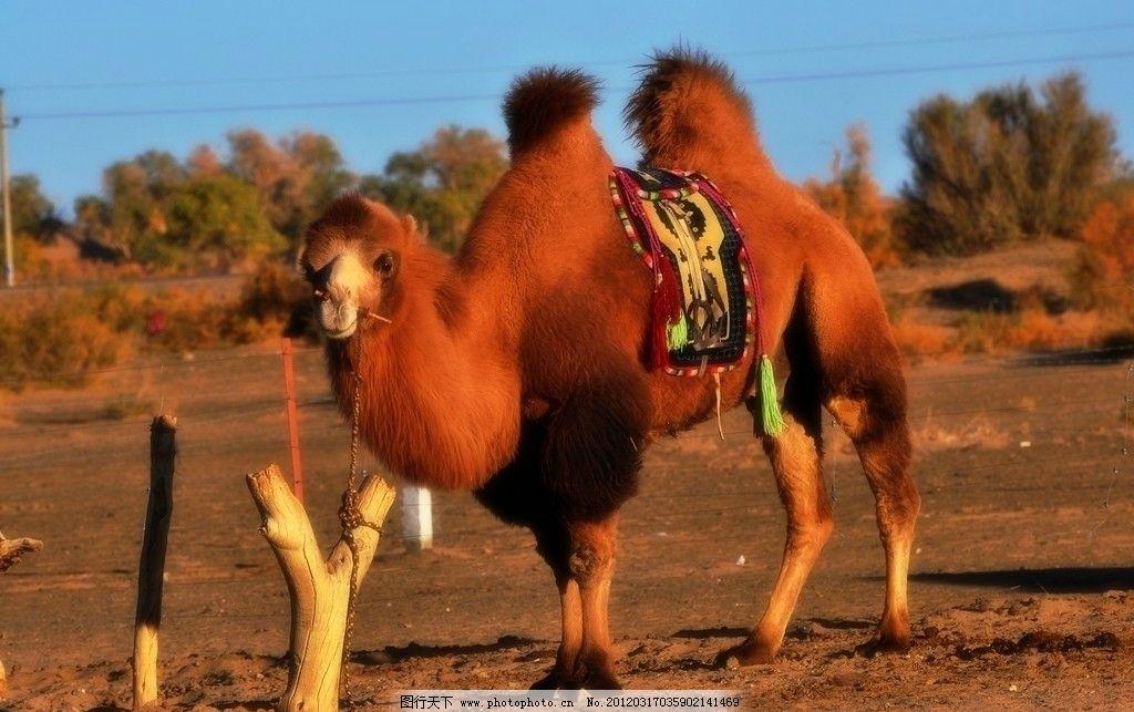新疆骆驼图片