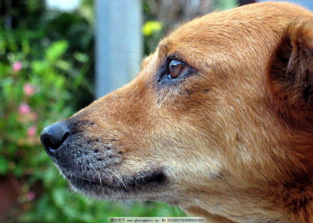 黄狗 狗 动物 生物 母狗 家畜 家禽家畜 生物世界 摄影 180dpi jpg
