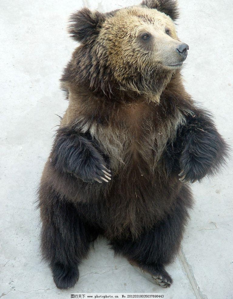 作揖 狗熊 黑熊 熊瞎子 棕熊 动物 野生动物 生物世界 摄影 72dpi jpg