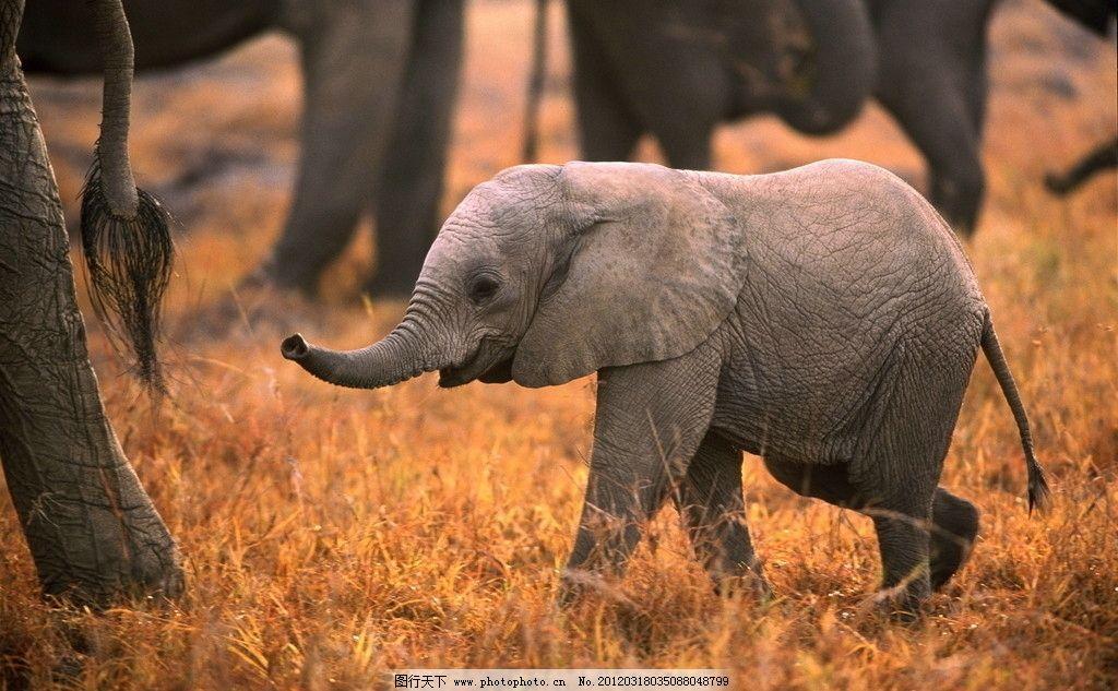 小象 大象 草原 非洲草原 野生动物 生物世界 摄影 300dpi jpg