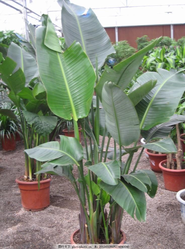 天堂鸟 绿植 盆栽植物 盆景 摄影