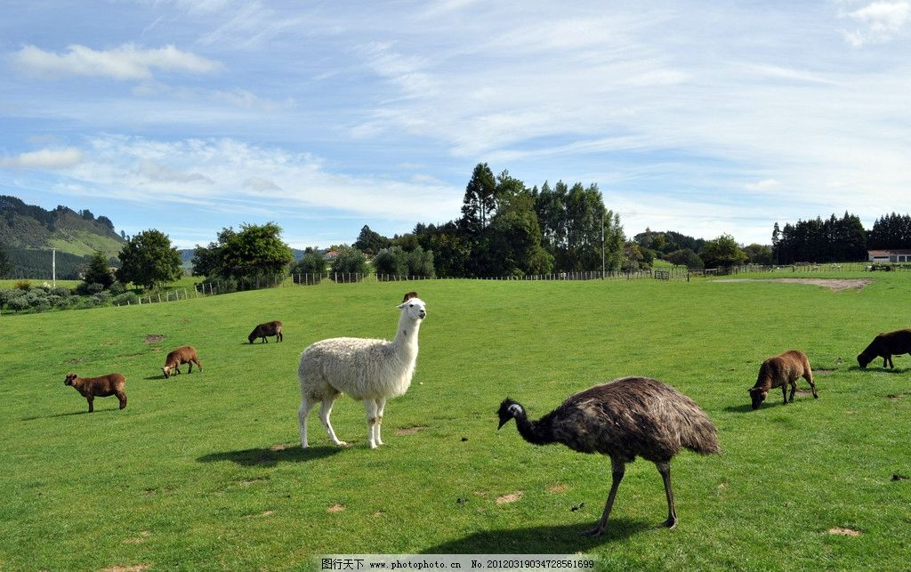 新西兰牧场 蓝天白云 绿色植物 青青草地 白色羊驼 黑色孔雀 褐色绵羊