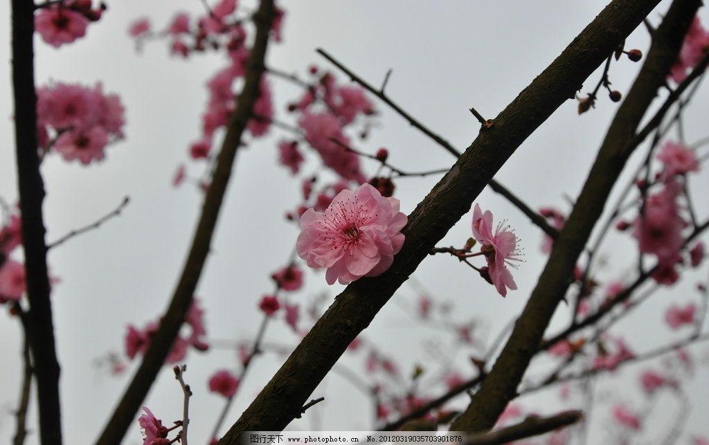 梅花 粉色 树枝 绿叶 花瓣 花蕾 花蕊 星星点点 暗香 天空 我爱大自然
