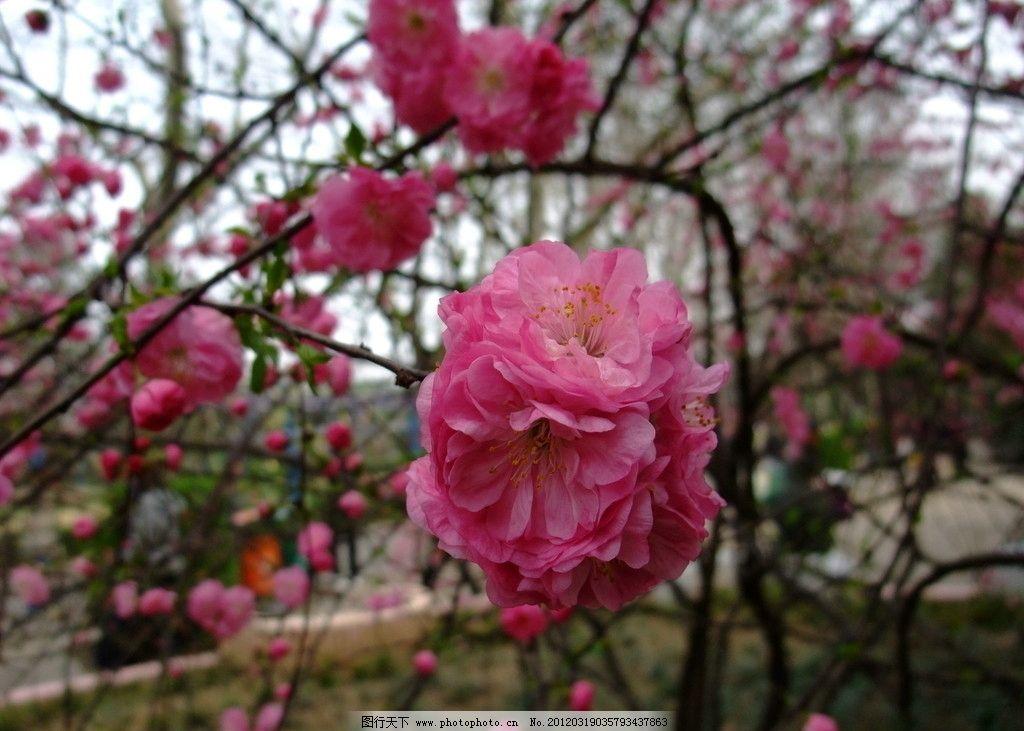 梅花 花卉 粉色 满树开花 梅花图片 花草 生物世界 摄影 72dpi jpg