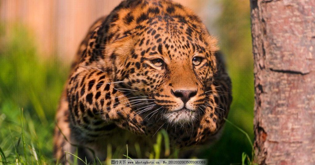 猎豹 豹子 花豹 非洲动物 猫科动物 动物 动物世界 食肉动物 哺乳动物