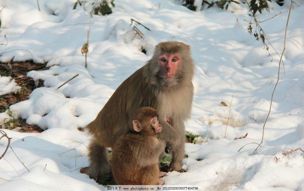 白雪 猴子 自然风光 自然风景 旅游摄影 摄影 72dpi jpg 野生动物
