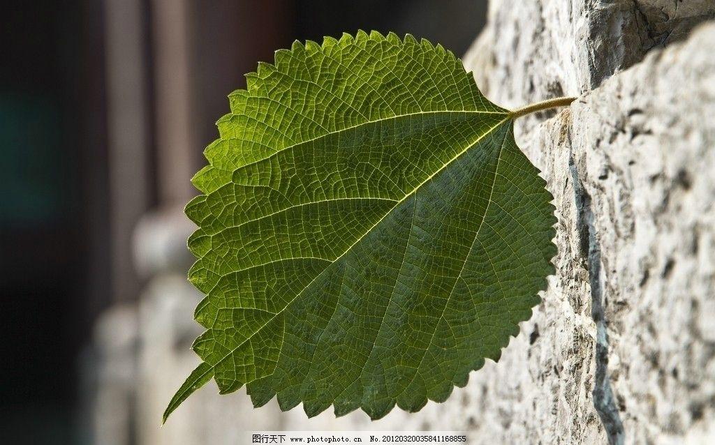 桑树叶 树叶 绿叶 树木树叶 生物世界 摄影 240dpi jpg