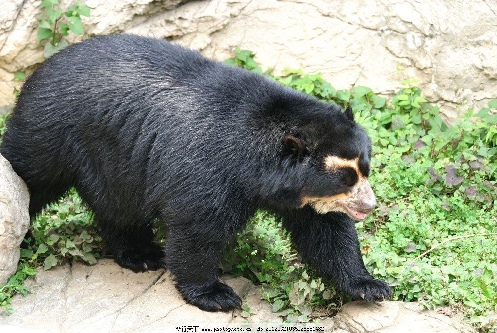 狗熊 黑熊 野兽 脯乳动物 保护动物 野生动物 生物世界 摄影