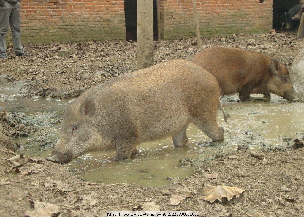 野猪 动物 野生动物 生物世界 摄影 72dpi jpg