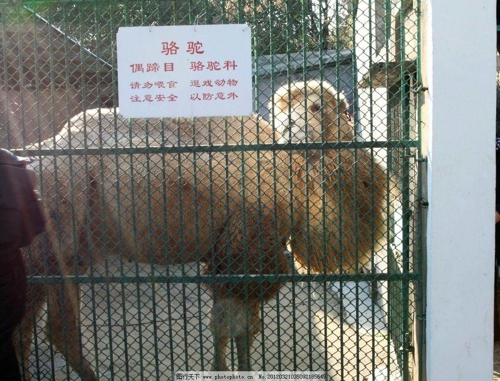 骆驼 动物园 公园 笼子 野生动物 生物世界 摄影 300dpi jpg
