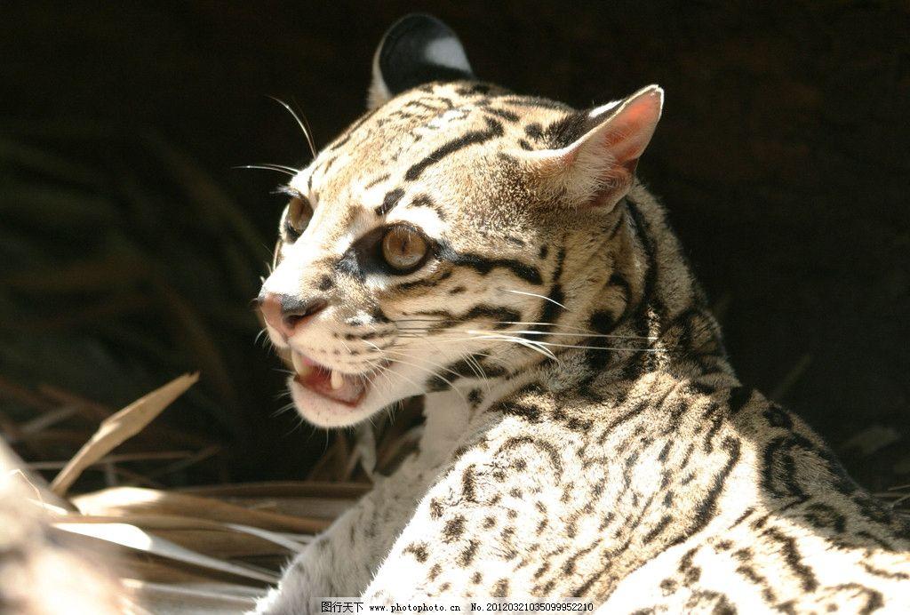 摄影图库 生物世界 野生动物  豹子 豹子高清图 动物园豹子 野生动物