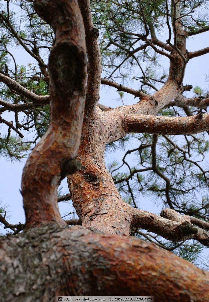 大树枝干 树枝 树杈 植物 树木 蓝天 法国梧桐 枯树 生物 环境 天空