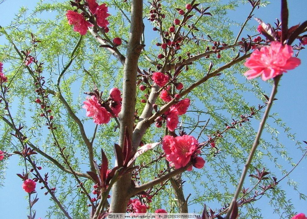 桃花 桃树 绿柳 春天 植物摄影 树木树叶 生物世界 摄影 72dpi jpg