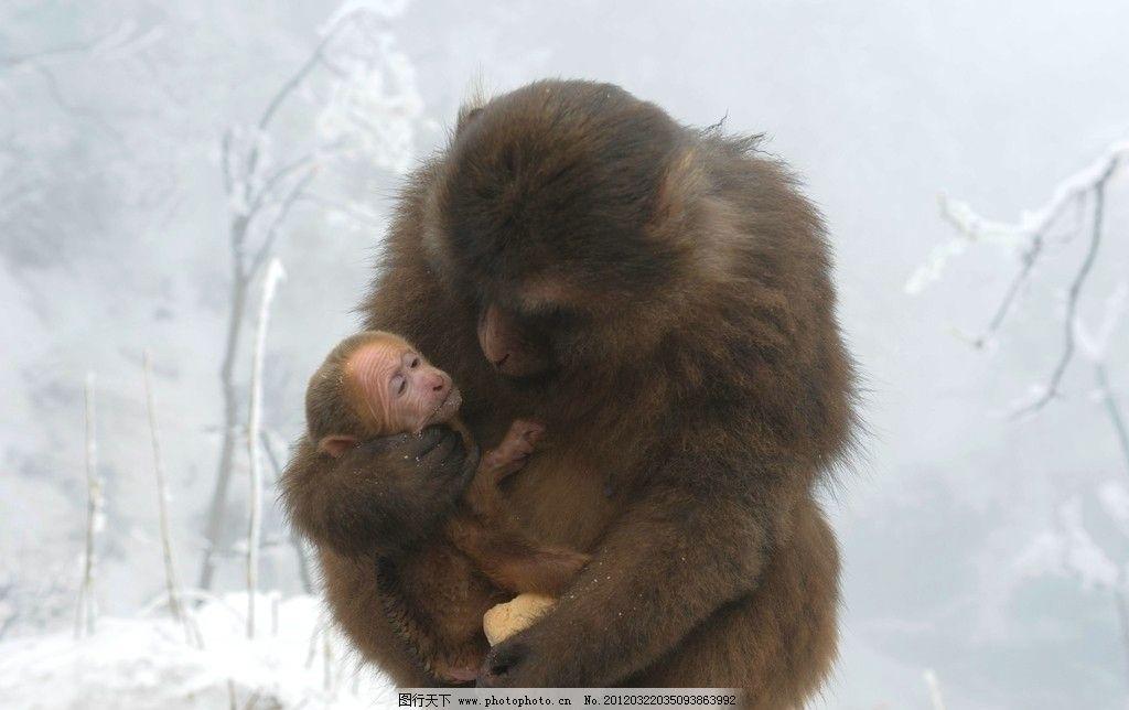 峨眉山的猴子图片