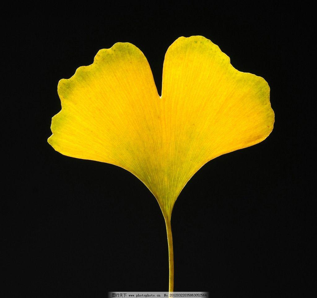 银杏叶 银杏 树叶 叶子 黄色的叶子 黄色 树木树叶 生物世界 摄影 300