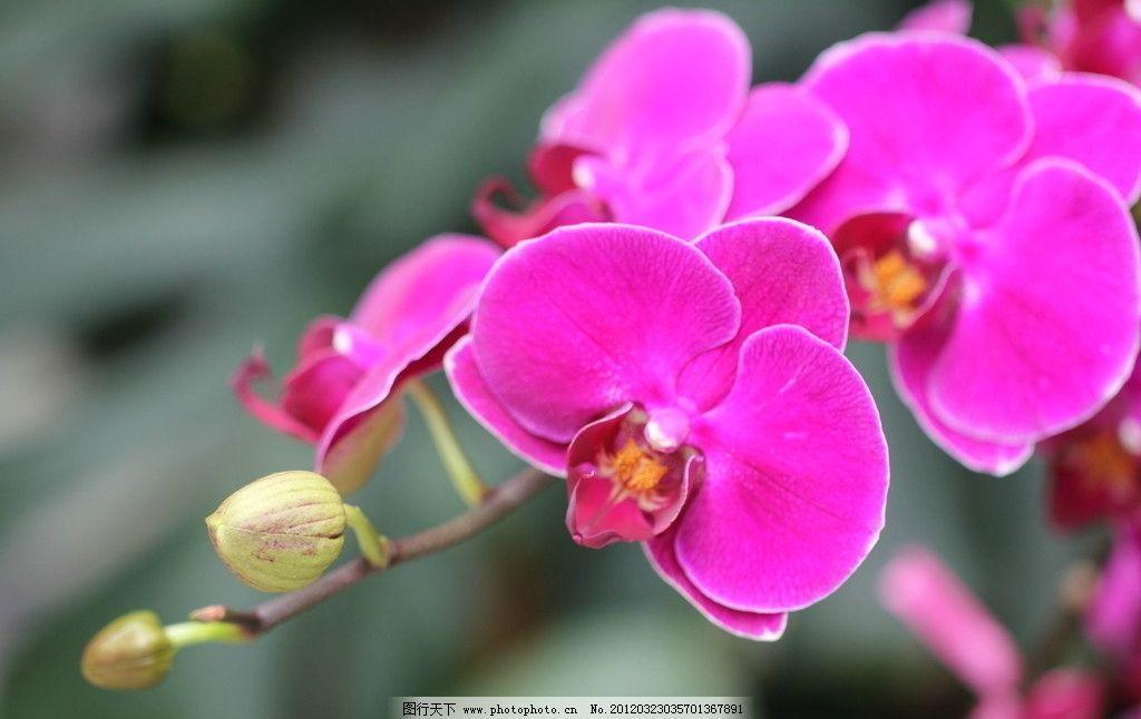 蝴蝶兰 花朵 花蕾 花瓣 枝条 绿色背景 花草 生物世界 摄影 72dpi jpg