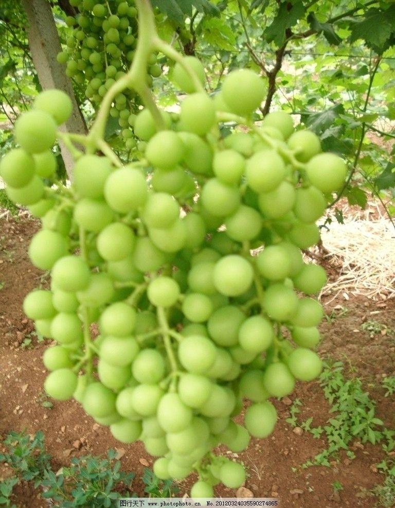 一串青葡萄 绿色 红提 清新 绿叶 结果 葡萄 水果 生物世界 摄影 96dp
