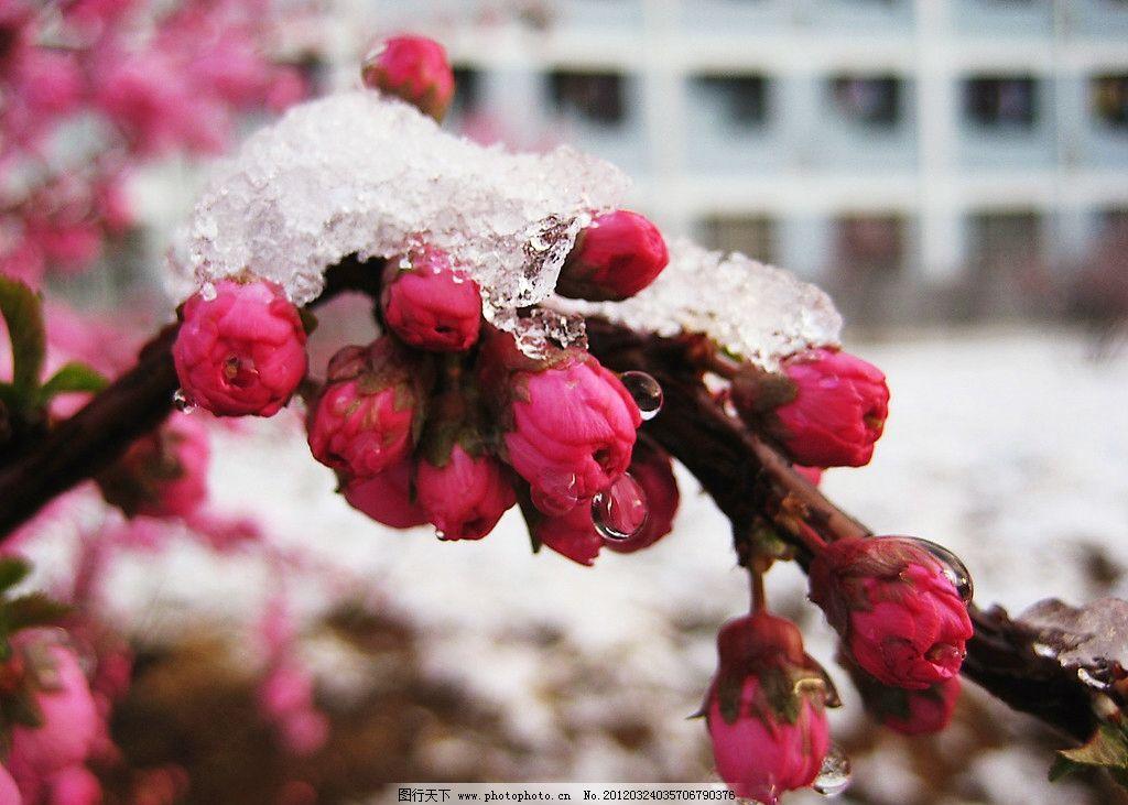 红腊梅花图片头像