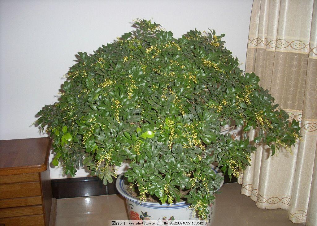 北方家养米兰花 北方 家养植物