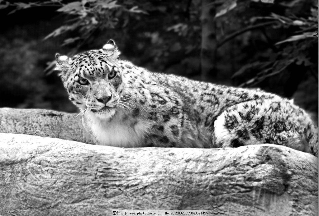 金钱豹 猎豹 豹子 野生动物 生物世界 摄影 72dpi jpg