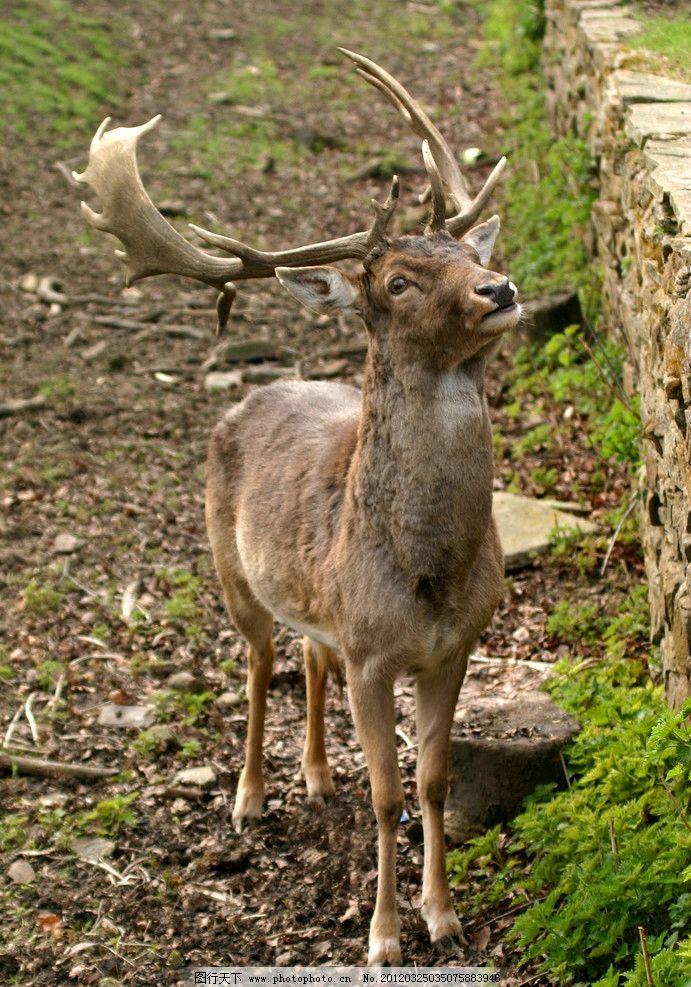 麋鹿 野生 珍贵 保护 动物 鹿 野生动物 生物世界 摄影 180dpi jpg