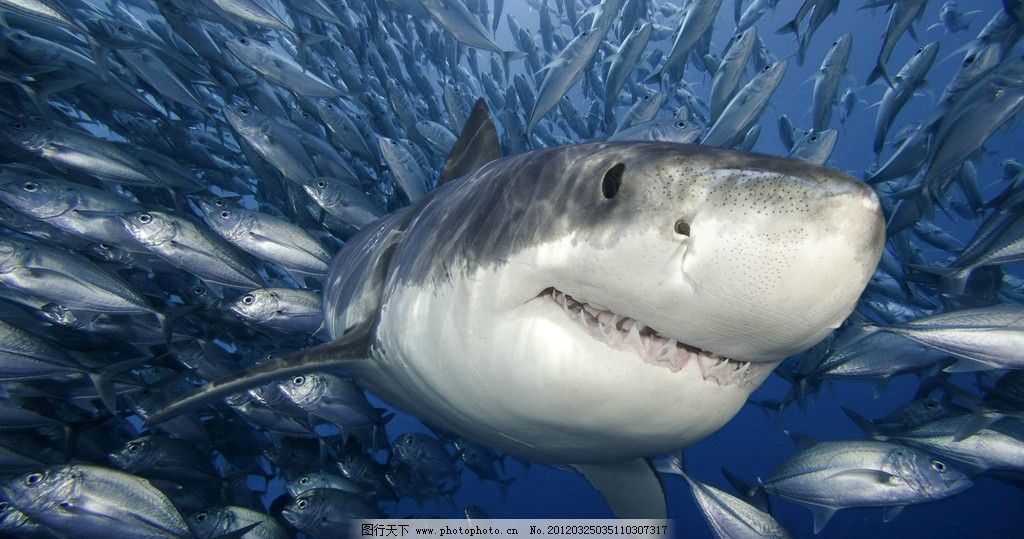 大鲨鱼 自然 动物 鲨鱼