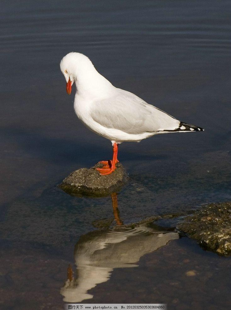 海鸥 小鸟 飞鸟 栖息地 沼泽 特写 倒影 鸟类摄影 鸟类 生物世界 摄影