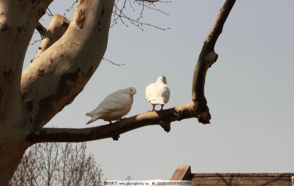 和平鸽树杈简笔画