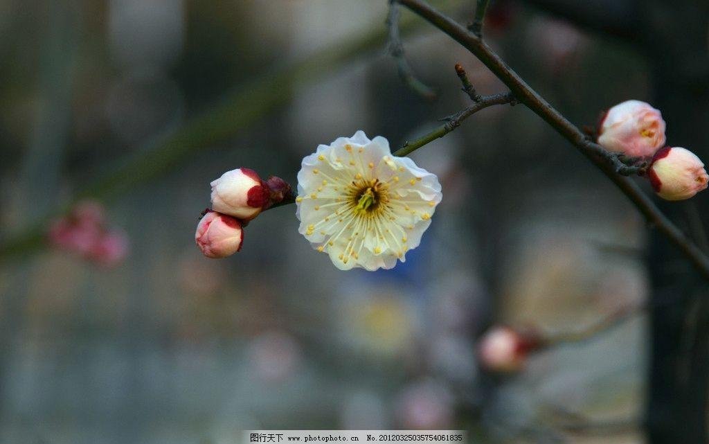 梅花 白梅花 梅花树 腊梅 梅花特写 花草 生物世界 摄影 300dpi jpg