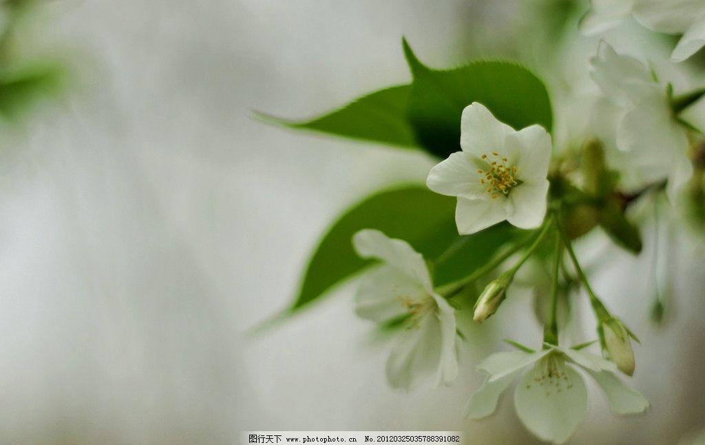 白花 花 绿叶 白花绿叶 花卉 春天 樱花 花草 生物世界 摄影 300dpi