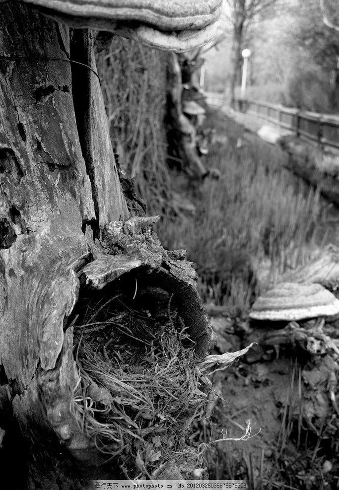 枯树 大树 树木 树枝 树干 树根 自然 环境 黑白 摄影 照片 树木树叶