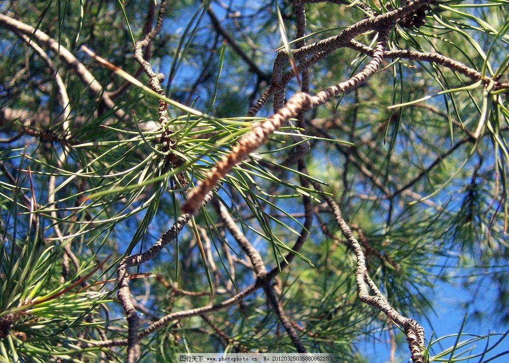 松树特写 松树 树枝 大树 树木 植物 树木树叶 生物世界 摄影 230dpi