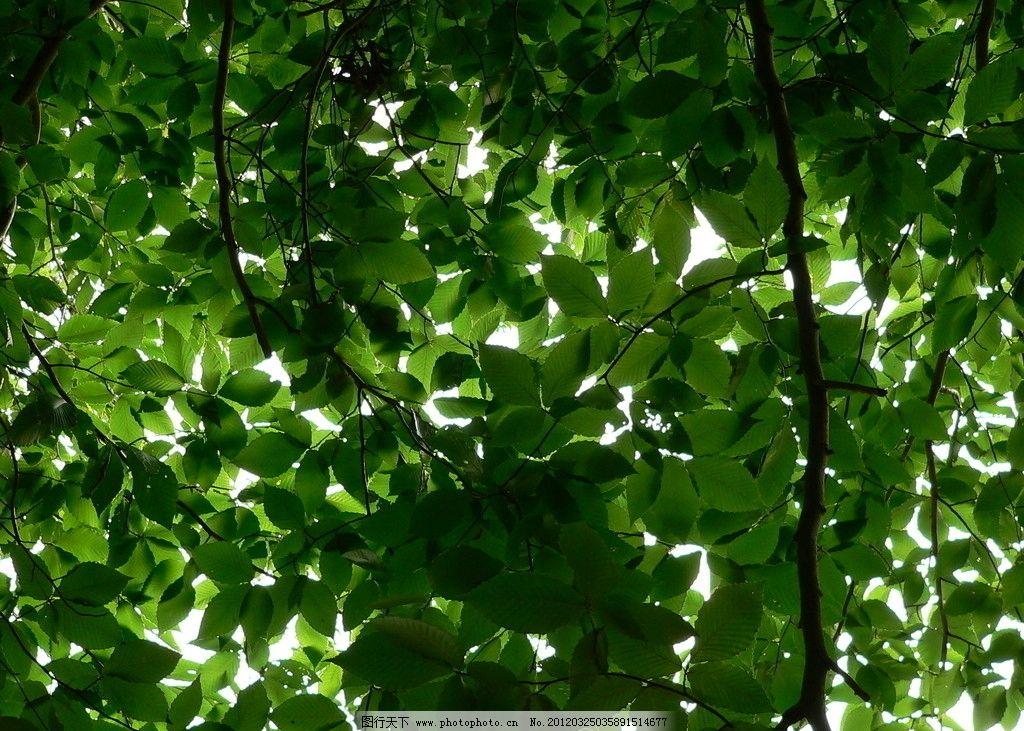 树木树叶 树木 树叶 大树 绿叶 叶子 森林 植物 绿植 生物世界 摄影
