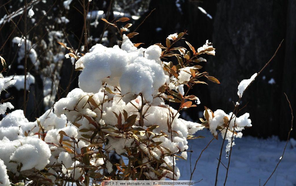 雪中花图片,摄影 风景 天津风光 雪景 西沽公园 黄叶