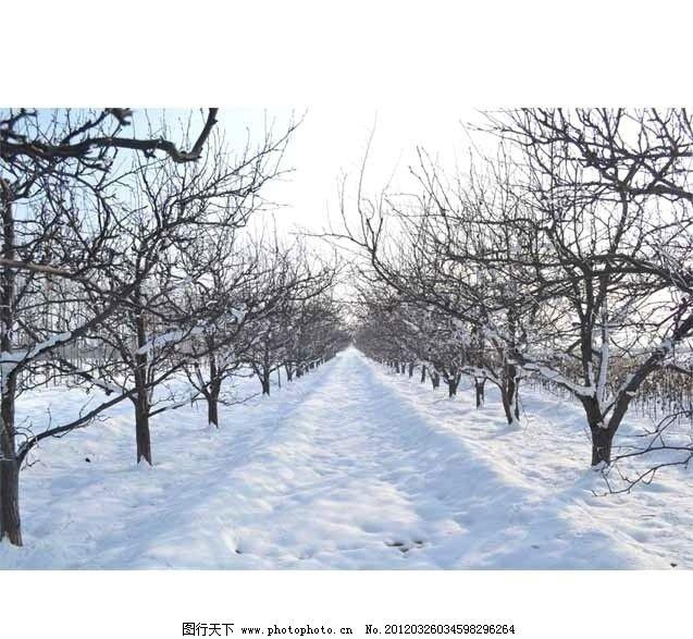 雪后阳光 梨树果园 雪景 暖阳 冬天 广角 原生态 摄影