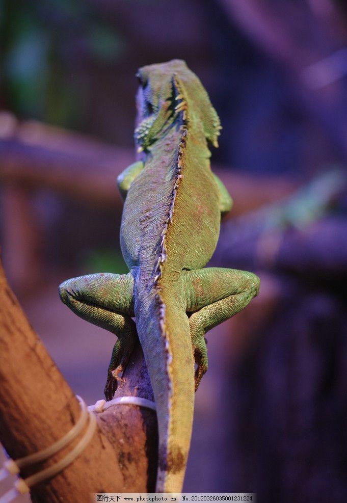 蜥蜴背面 大蜥蜴 爬树 绿色 变色龙 野生动物 特写 动物 生物世界
