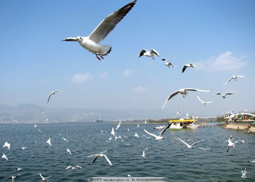 海鸥 蓝天 白云 飞翔 自然 生态 未来 野生动物 生物世界 摄影 180dpi