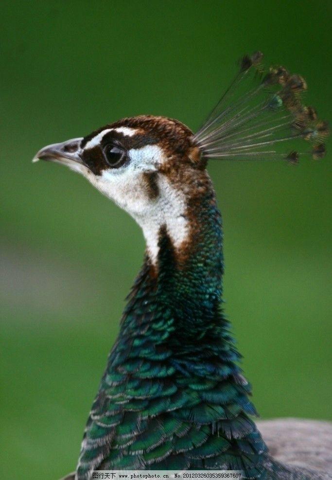 孔雀野生动物 珍贵 珍惜 摄影