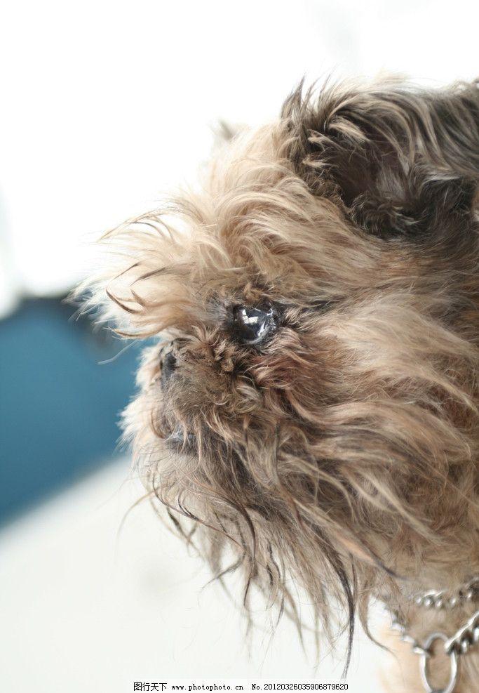 可爱小狗 可爱 小狗 狗狗 宠物 犬类 家禽家畜宠物 家禽家畜 生物世界