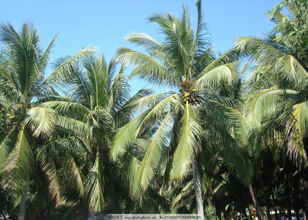 三亚 椰子树图片