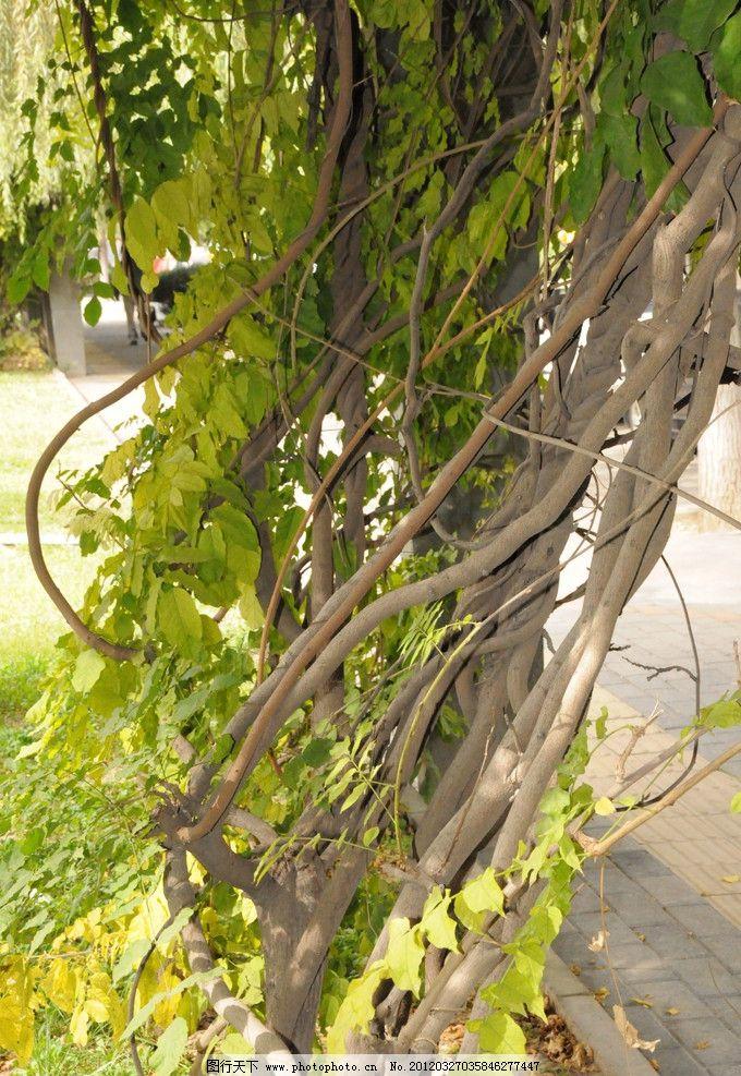 紫藤 植物 藤 藤条 树木树叶 树干 素材 生物世界 摄影 300dpi jpg